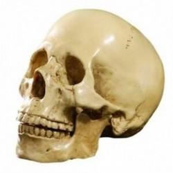 2X (1: 1 gyanta emberi koponya anatómiai tanítási dekoráció sárga C3S8)