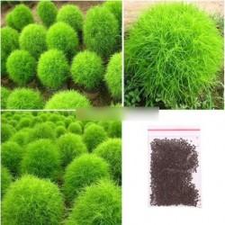 200 mag Kochia Scoparia Kerti seprűfű gyorsan nő