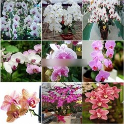 20Mix színes Phalaenopsis virág mag lepke orchidea